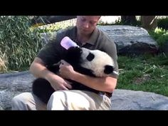 Panda Cub at the Toronto Zoo - YouTube