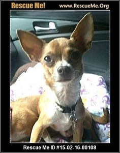 : 15-02-16-00108Sushi (male)  Chihuahua  Age: Young Adult  Compatibility:Good with Most Dogs, Good with Kids and Adults Personality:Average Energy, Average Temperament Health:Neutered, Vaccinations Current  Hola! My name is Sushi, I think it should be Taco but the rescue group gave me that name. I'm a loving 2yr old, 5.5lb boy looking for a furever home. Please, if you'd like to meet me submit an application to the good people at the rescue group. Call me, maybe?   Animal…