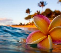 Plumeria floating in the ocean Hawaii Flowers, Plumeria Flowers, Tropical Flowers, Beach Pictures, Pretty Pictures, Hibiscus, Flowers Nature, Ocean Flowers, Tropical Vibes