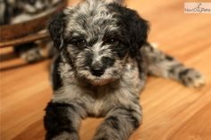 Meet Dixie a cute Aussiedoodle puppy for sale for $1,900. Blue merle female, very unique markings, WOW