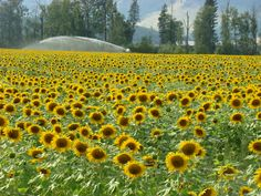 Tanya L Gordon -- Curated by Historic O'Keefe Ranch Vernon Bc, Sunflower Fields, Silver Stars, British Columbia, Family Travel, Ranch, Places To Go, Things To Do, June