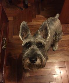 Cute baby #schnauzer #puppy #dog #dogtoy