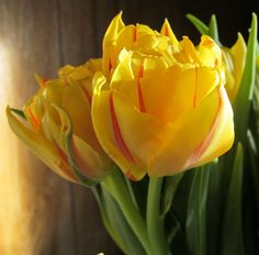 Yellow tulips with red stripes Yellow Tulips, Red Stripes, Beautiful Flowers, Irises, Plants, Iris, Plant, Lilies, Planets