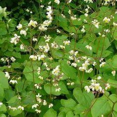 U bent op zoek naar een Epimedium pubigerum (elfenbloem)? Tuincentrum Maréchal! ✔ Eigen kwekerij ✔ LAGE prijzen ✔ Uitgebreide planteninformatie