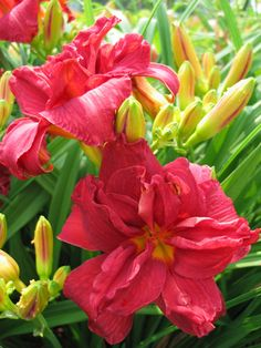 Oakes Daylilies - DOUBLE FIRECRACKER Happy Flowers, Beautiful Flowers, Firecracker, Day Lilies, Potted Plants, All The Colors, Shrubs, Flower Arrangements, I Am Awesome