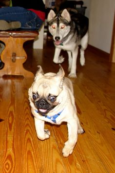 Can't Sleep... Dog Will Get Me (crazy pug being stalked by a husky)