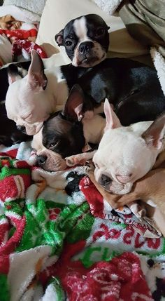 French Bulldogs and a Frenchton (Boston Terrier & French Bulldog Mix). Cute Puppies, Cute Dogs, Dogs And Puppies, Doggies, Toy Fox Terriers, Terrier Mix, Boston Terrier Love, Boston Terriers, American Dog
