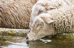 Pecore assetate - Thirsty sheep © Pietro D'Antonio