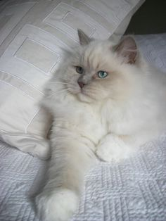 Mink Ragdoll Catteries | lilac mink ragdoll breeding ragdoll cats that rock your world 540 484 ...