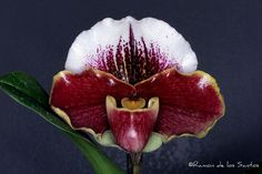 Paph. (Ever Red x Keyeshill) | Flickr : partage de photos !