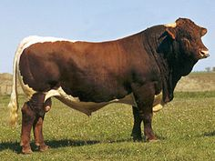 """Do a search on the Internet or your cattle breeds book on """"Pinzgauer"""" cattle."""