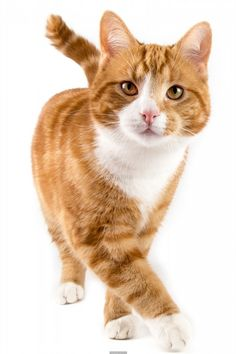 Poster of red cat, walking towards camera, isolated in white, Cats Posters, #poster, #printmeposter, #mousepad, #tshirt
