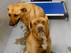 Wilson NC: 3/18 Urgent! Senior Bonded Dog Pair! Wilson Animal Shelter Needs them OUT by 4:00 pm today March 18!