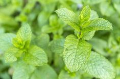 Photo about Mentha spicata (Spearmint or Spear Mint) leaves growing in a garden. Image of spearmint, leaves, spicata - 35251710 Natural Cures, Natural Health, Detox Herbs, Healthy Holistic Living, Energie Positive, Decongestant, Herbs For Health, Growing Gardens, Health Matters