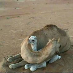 Mamacamel watching over her babycamel