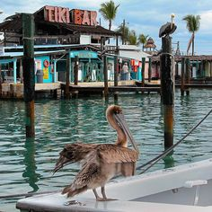 Florida Keys. Some of the pelicans you'll find in The Keys & elsewhere in Florida.