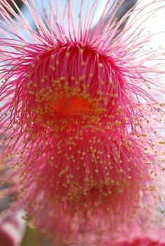 Splashes of Native Bloss (Eucalyptus Blossom). I have a eucalyptus, but it's never bloomed. Unusual Flowers, Amazing Flowers, Pink Flowers, Beautiful Flowers, Blossom Flower, My Flower, Flower Art, Flower Power, Diy Garden