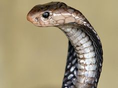 The cobra who bit a Nepali man probably wishes it lived to regret it. But the cobra can't regret it because it didn't live. The victim bit the snake, repeatedly, as revenge until it died.