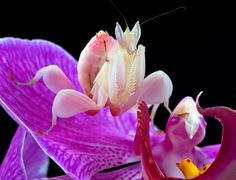 Orchid mantis mimics orchids in South Asia to trap insects.
