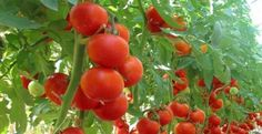 This is a complete guide on how to start tomato farming, from seed stage to harvesting. Basics things you need to start tomato farming Tomato Cultivation, Tomato Growers, Growing Tomatoes Indoors, Growing Tomatoes In Containers, Grow Tomatoes, Baby Tomatoes, Cherry Tomatoes, Tomato Seedlings, Tomato Plants