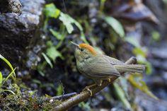 Rufous-Capped Babbler (Birding Angel) #NIKON D4 #animals #photo #nature