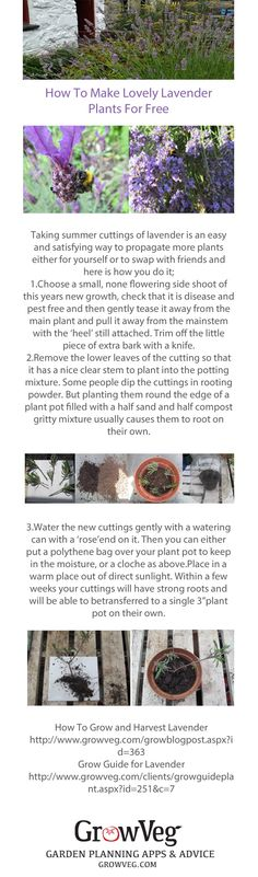 Make more lavender plants for free! How to propagate lavender from this years new growth, this method will work for all types of lavender and rosemary too, it's an easy way of increasing your stock and making gifts to swap or to give to friends.There are 2 links added at the bottom from growveg.com which show you how to grow and harvest your lavender when it has established. Hope that you enjoy the post and that your garden has added fragrance!