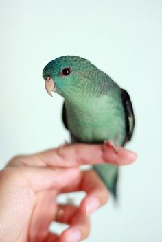 Kiwi the lineolated parakeet. I'm on a wait list for one of these lovely birds, I hope I can get one. http://www.parrotchronicles.com/features/lineolatedparakeets/lineolatedparakeets.htm