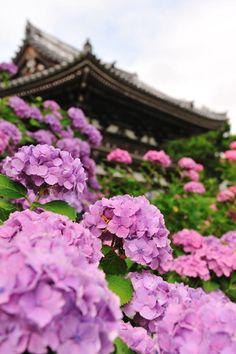 Hydrangea Temple - Kannon-ji temple,Fukuchiyama, Kyoto, Japan