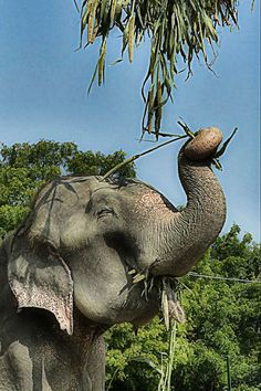 All About Elephants, Elephants Never Forget, Save The Elephants, Happy Elephant, Asian Elephant, Elephant Love, Elephant Eating, Animals And Pets, Funny Animals