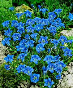 This Chinese Gentian species (Gentiana Sino-Ornata) is one of the easiest Gentians to grow. This mat-forming variety originates from China. The creeping stems have narrow lanceolate leaves, and glorious royal-blue funnel-shaped flowers appear in summer and early autumn. Excellent garden feature.