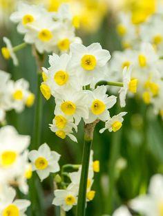 En oemotståndlig miniatyrnarciss i crémevitt med en solgul öppnad bikrona i mitten.Dessa växer i klasar med fler blommor på varje stjälk likt tazetter.Höjd 15-20 cm.Trivs i sol till halvskugga. Innehåller 8 stycken lökar. PLANTERINGSRÅDNarcisser ska planteras tidigt på hösten, med fördel i en väldränerad och lätt fuktig jord, cirka 15 cm under jorden. Närbladverket sticker upp på våren är det bra att ströpå lite benmjöl ellerZetas bästa gödselsom extra näring. Narcisser är mer…
