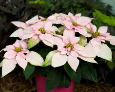 Planting for for 2016 & Princettia Soft Pink poinsettia