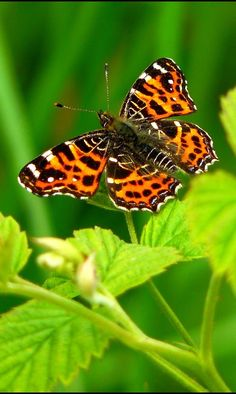 A beautiful picture of a tiger butterfly