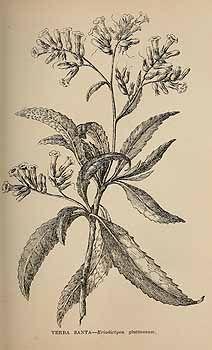 Eriodictyon californicum — Yerba Santa [poison oak, wounds]