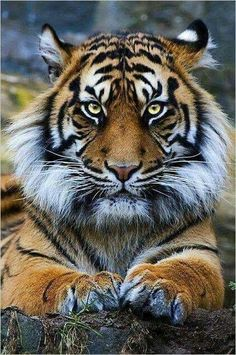 Tiger perfection