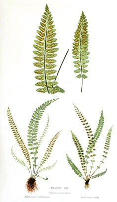 Vintage Printable at Swivelchair Media - Beta | Botanical – Leaf – Fern, British Fern (6)