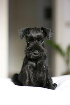Ranked as one of the most popular dog breeds in the world, the Miniature Schnauzer is a cute little square faced furry coat. It is among the top twenty favorite Animals And Pets, Baby Animals, Funny Animals, Cute Animals, Cute Puppies, Cute Dogs, Dogs And Puppies, Doggies, Corgi Puppies