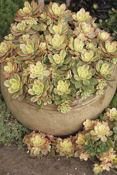 Aeonium 'Kiwi' - Kiwi Aeonium - Monrovia