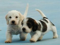 petit basset griffon vendeen cachorros almost like as Leevi & Liisa Buy Puppies, Dogs And Puppies, Doggies, I Love Dogs, Cute Dogs, Cute Small Animals, Petit Basset Griffon Vendeen, Dog Breeds List, Basset Hound Dog