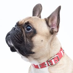French Bulldog wearing a handmade Red Stripe Collar from Jolie Dog