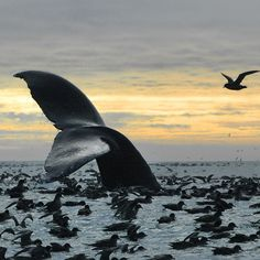 Bristol Bay,Alaska was declared by President Obama a Protected Area: December Beautiful Creatures, Animals Beautiful, Save The Whales, Life Aquatic, Wale, Delphine, Ocean Creatures, Humpback Whale, Ocean Life