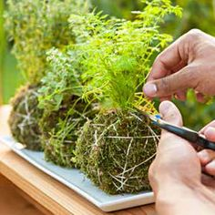 your own kokedama (or moss ball) in a few easy steps. Grow herbs in kokedama fashion, then clip off what you need for seasoning while cooking outdoors. Mini Garden, Plants, Herbs, Kokedama, Moss Garden, Outdoor Gardens, Container Gardening, Planting Succulents, Hanging Garden