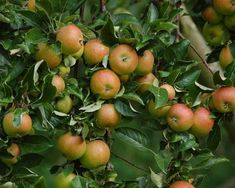 Most fruit trees produce too many flowers in order to make sure enough get fertilised Parts Of A Flower, Recycled Garden, Blossom Flower, Fruit Trees, Fertility, Botanical Gardens, Compost, Home And Garden, Bloom