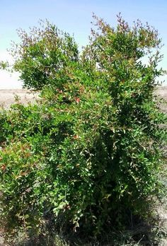 Bint Al Atlas : Le grenadier ( Punica granatum )  http://bintalatlas.blogspot.com/2015/07/le-grenadier-punica-granatum.html