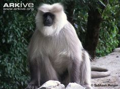 Kashmir gray langur sitting -endangered