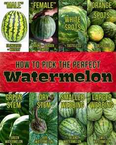 I always wondered why sometimes I'd get a sweet one, and other times a bland, flavorless one. Keep this handy and get great melon every time. Picking Watermelon, Green Watermelon, Fruit Picking, Watermelon Ripeness, Watermelon Facts, When To Pick Watermelon, Fruits And Veggies, Vegetables, Useful Life Hacks