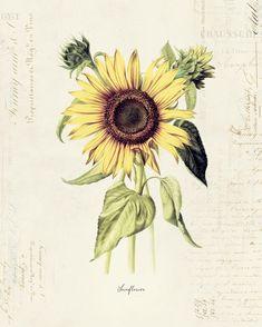 Sunflower Bouquets, Sunflower Art, Sunflower House, Sunflower Drawing, Sunflower Seeds, Botanical Flowers, Botanical Prints, Wildflower Seeds, Antique Illustration