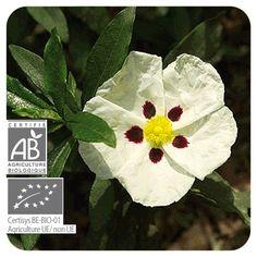 Huile essentielle de Ciste bio Pranarôm - Cistus ladaniferus - les-huiles-essentielles-bio