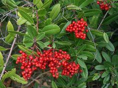(Heteromeles arbitufolia) Toyon - Evergreen shrub to small tree, 6-8 ft. high x 4-5 ft. wide, CA native, deer-resistant, white flowers in spring, red berries in winter, dark green leaves.