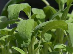 Missing out on amazing herbs that turn your simple dishes into gourmet meals? Add a few more to your herb pots with these easy to grow perennial herbs. Plantes Feng Shui, Feng Shui Plants, Salvia Officinalis, Best Herbs To Grow, Growing Herbs, Herbs For Menopause, Home Remedies For Allergies, Sage Benefits, Health Benefits